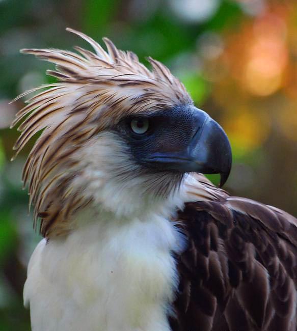Philippine_eagle-12