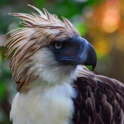 Philippine National Bird Monkey-eating Eagle