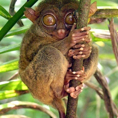 World's Smallest Monkey Tarsius